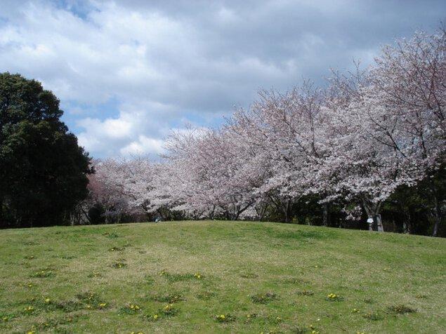 【桜・見ごろ】佐鳴湖公園