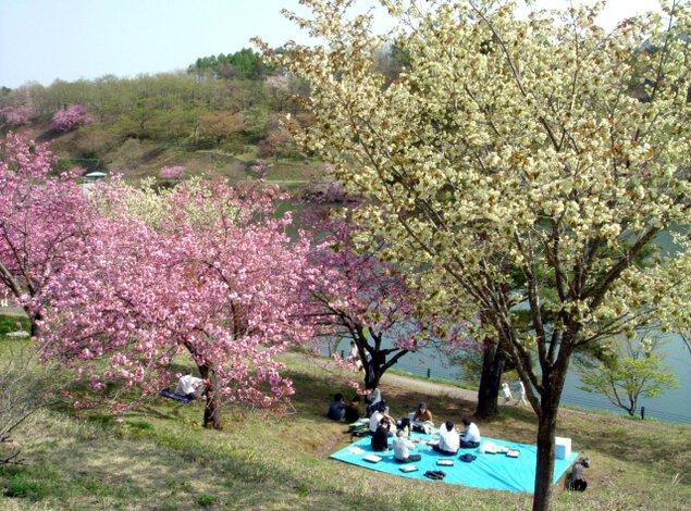 にかほんじょうはるめぐり2021 黄桜まつり