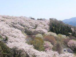 桜山公園の桜(群馬県)