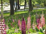【花・見ごろ】国営武蔵丘陵森林公園 ルピナス