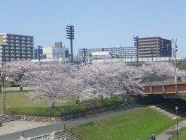 大島小松川公園の桜