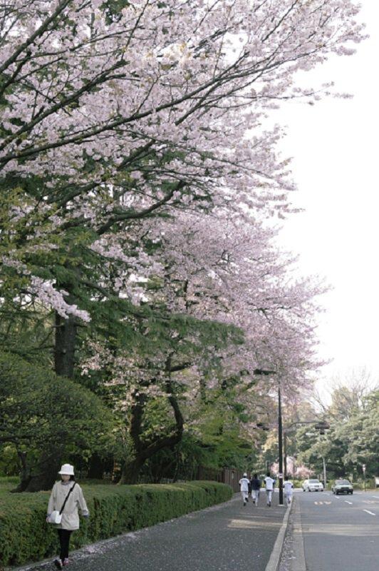 明治神宮外苑の桜