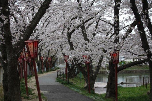 【桜・見ごろ】香久池公園