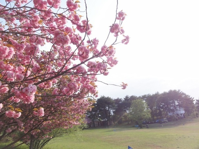 【桜・見ごろ】神石高原ティアガルテン