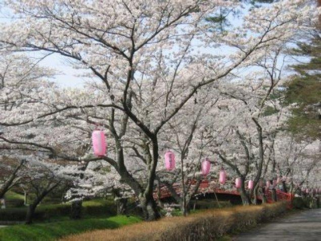 【桜・見ごろ】翠ヶ丘公園