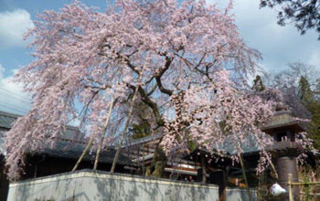 【桜・見ごろ】櫻堂薬師