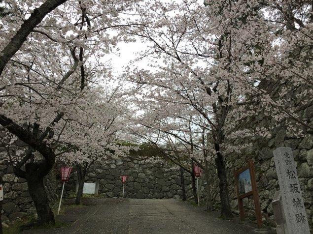【桜・見ごろ】松阪公園(松坂城跡)