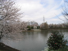 御伊勢塚公園(おいせ橋通り)の桜