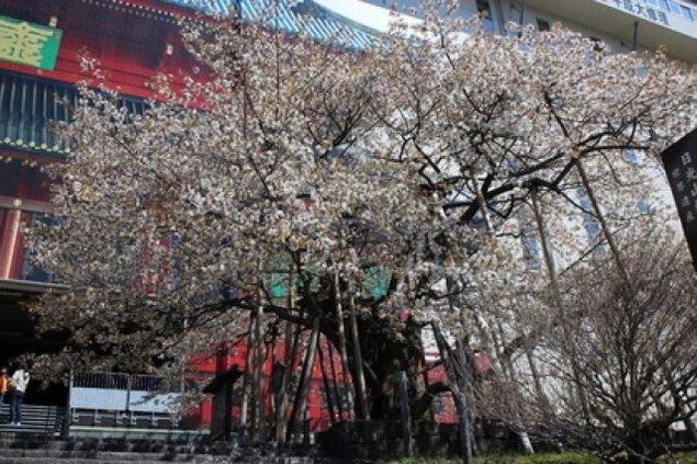 【桜・見ごろ】輪王寺の金剛桜