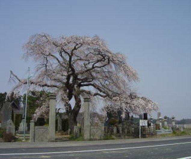 【桜・見ごろ】照光寺のしだれ桜