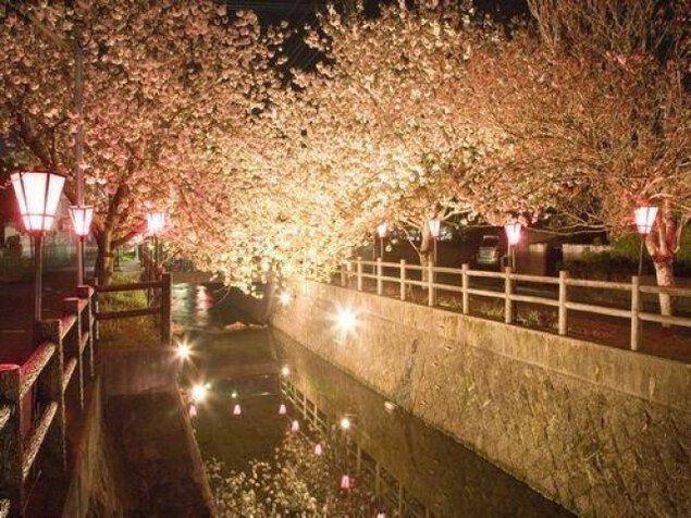 中野川の八重桜ライトアップ