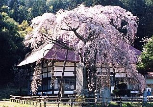 【桜・見ごろ】永泉寺のサクラ