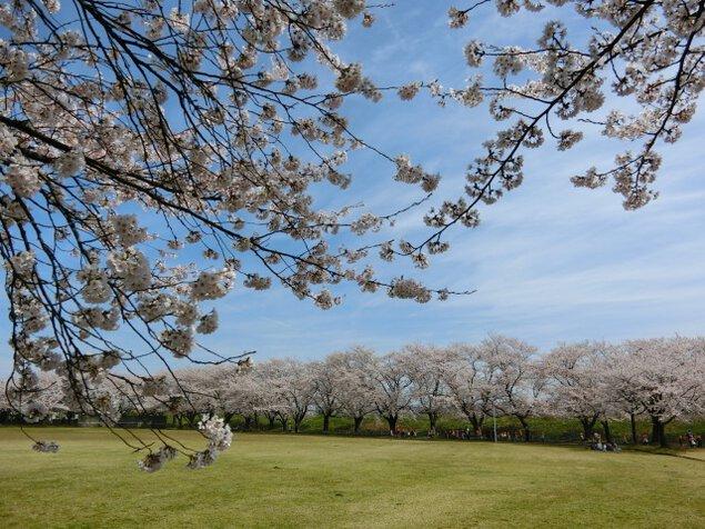【桜・見ごろ】今宮公園