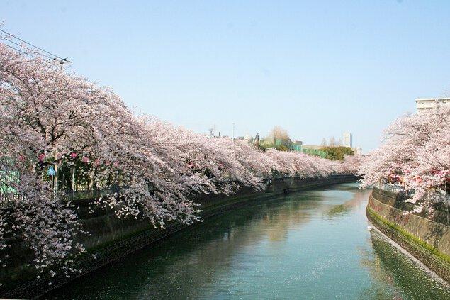 大岡川プロムナードの桜