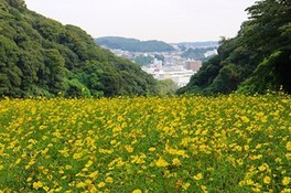 くりはま花の国 コスモスまつり2019