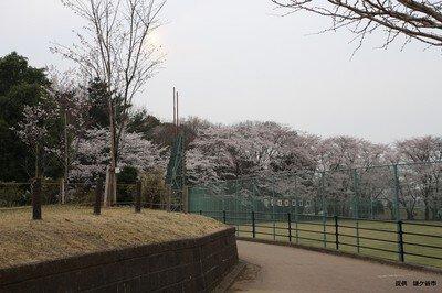 市制記念公園の桜