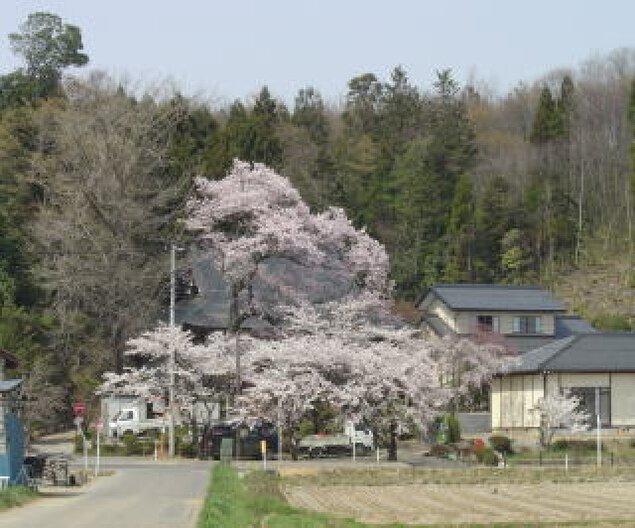 【桜・見ごろ】永禄寺