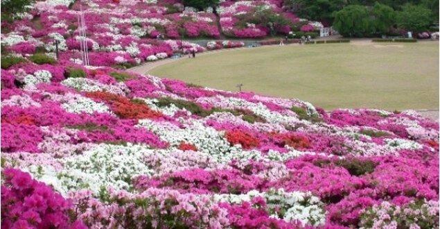 【花・見ごろ】西山公園のつつじ<中止となりました>