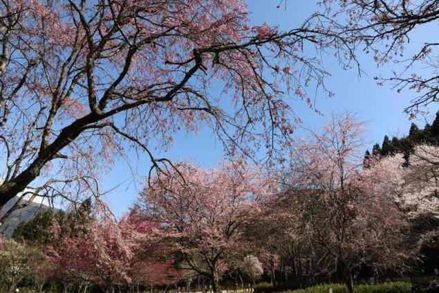 【桜・見ごろ】桜図鑑園