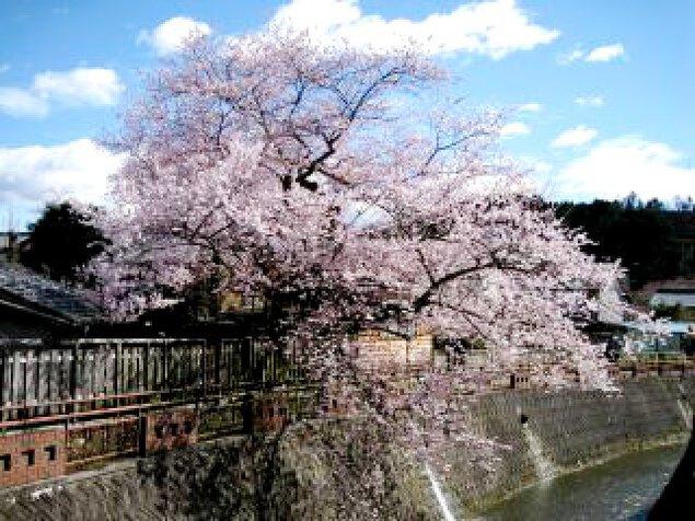 【桜・見ごろ】八斗蒔の彼岸桜