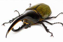 世界のカブトムシ大集合!おもしろ昆虫展