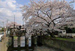 新河岸川の桜