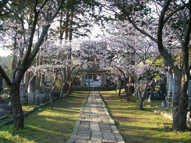 【桜・見ごろ】光善寺