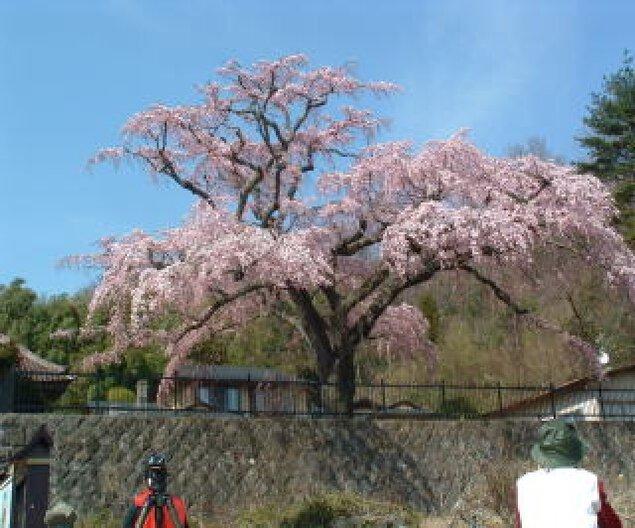 【桜・見ごろ】永泉寺のシダレザクラ