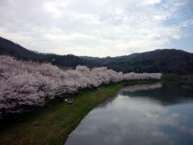 【桜・見ごろ】白竜湖