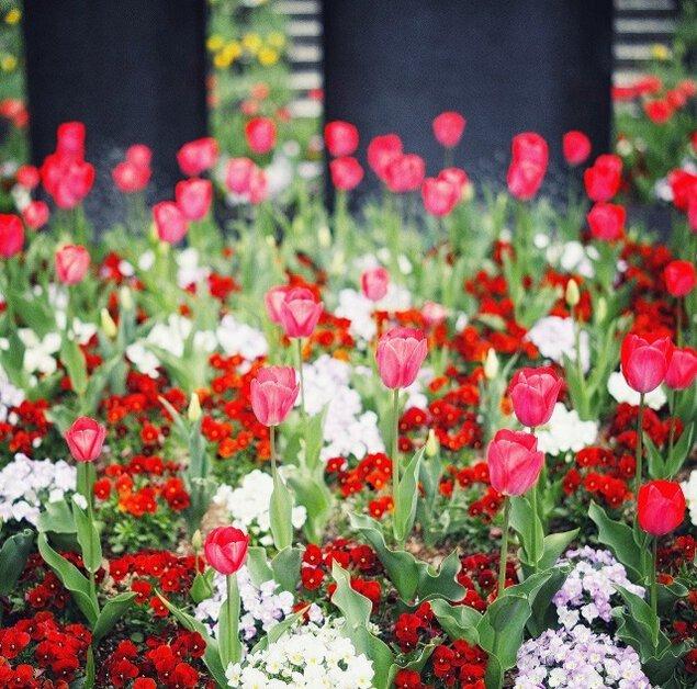 【花・見ごろ】神戸布引ハーブ園/ロープウェイ チューリップ<中止となりました>