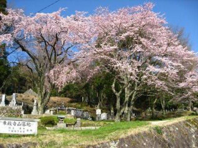 【桜・見ごろ】乗政寺山 大名桜