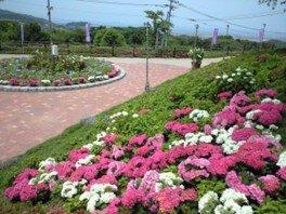 【あじさい・見ごろ】高塔山公園