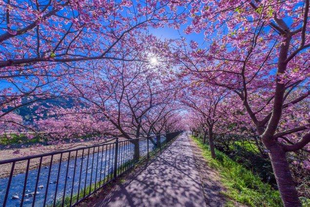 河津川沿桜並木の桜
