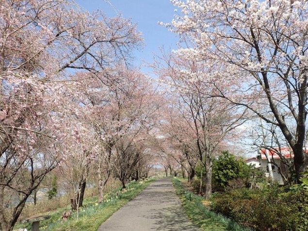 【桜・見ごろ】小和滝公園