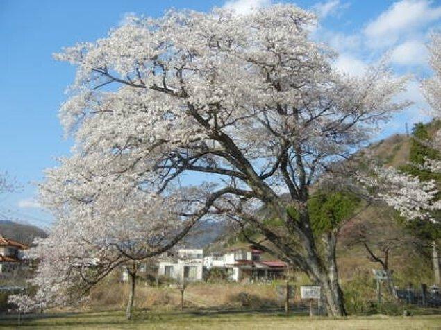 【桜・見ごろ】開運桜