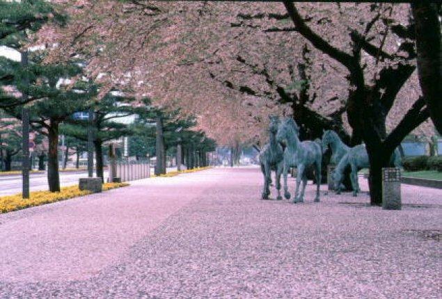 【桜・見ごろ】官庁街通り駒街道