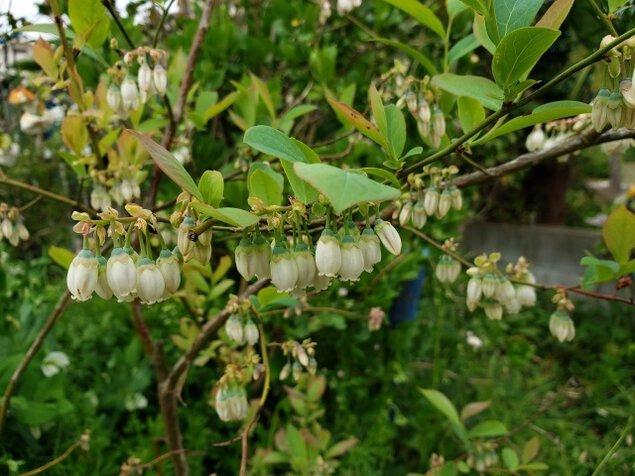 【花・見ごろ】原観光りんご園 ブルーベリーの花<中止となりました>