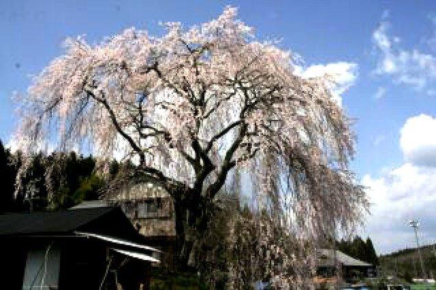 【桜・見ごろ】釜屋の枝垂れ桜