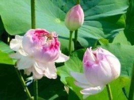 【花・見ごろ】近江妙蓮公園 近江妙蓮