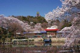 日本モンキーパークの桜