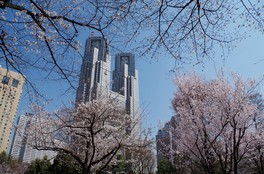 新宿中央公園の桜