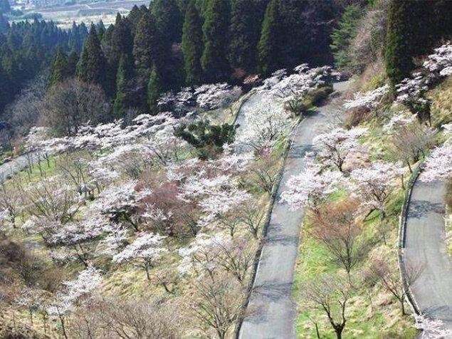 【桜・見ごろ】高森峠千本桜