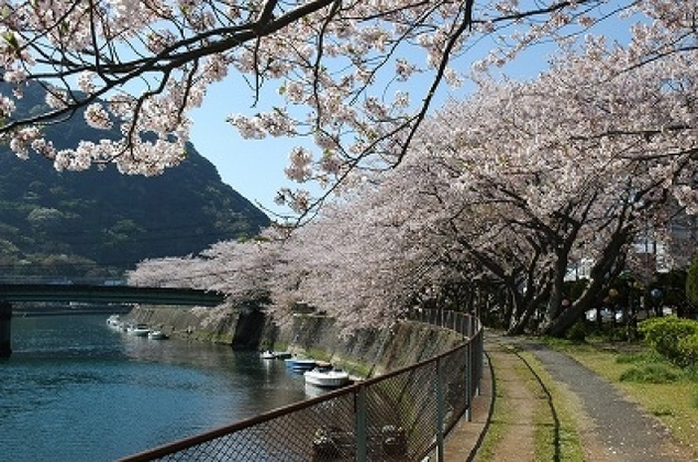 【桜・見ごろ】本郷公園