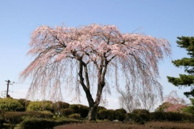 【桜・見ごろ】小室山公園