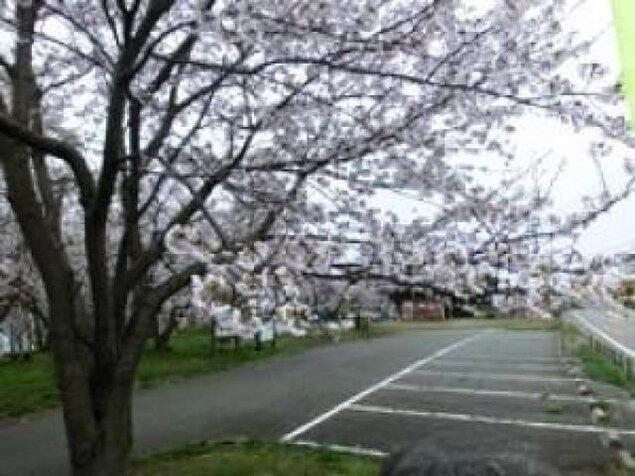 【桜・見ごろ】野積河川公園