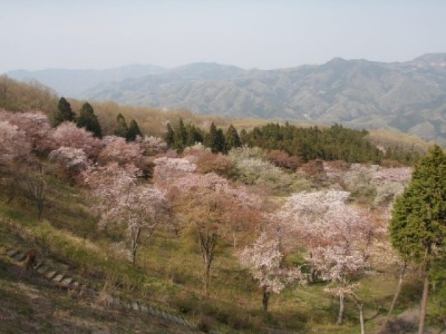 【桜・見ごろ】美の山公園