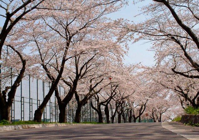 【桜・見ごろ】大野川沿いの桜並木