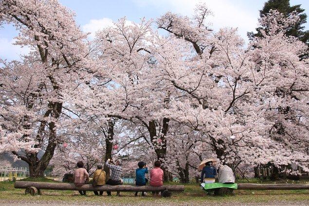 清滝小学校の桜