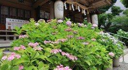 【あじさい・見ごろ】坐摩神社
