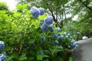 【あじさい・見ごろ】牛伏山自然公園